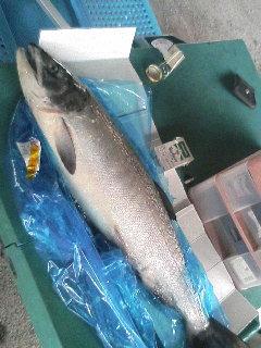 鮭なベイベー